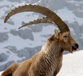 Intrepid Ibex